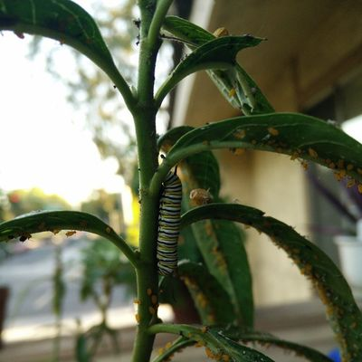 Monarch caterpillar 🐝🐞🐛🐜