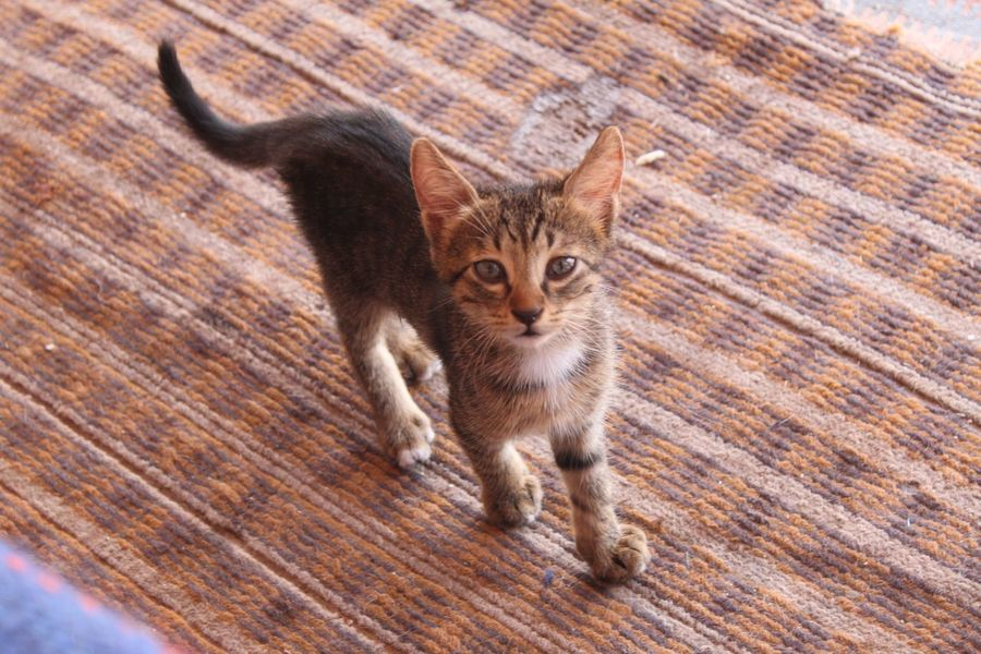 Ancient Ancient History Desert Deserts Around The World Jordan Middle East Petra Petra Jordan Petra, Jordan Tourist Attraction  UNESCO World Heritage Site Ancient Architecture Ancient City Ancient Civilization Ancient Ruins Desert Beauty Desert Landscape Destination Domestic Cat Feline Kitten Looking At Camera Pets Portrait Tourist Destination