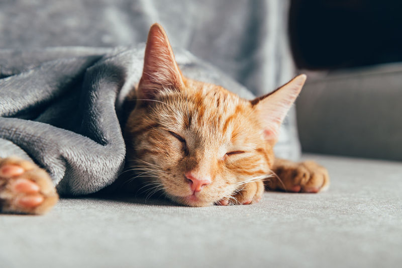 Cute little ginger kitten sleeps on the sofa under grey soft blanket