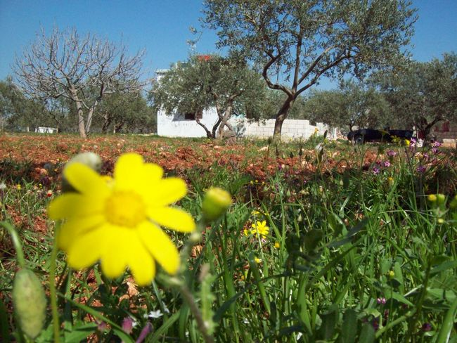 Rural House Spring Spring Flowers Springtime Yellow Flower House Rural Olive Tree Olive Tree Field Flower Growth Yellow Nature Beauty In Nature Tree