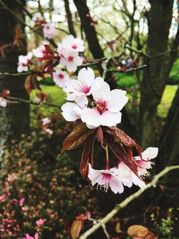 Cherry Blossoms Keukenhof Garden Lisse  Spring Spring Has Arrived Flowers,Plants & Garden Flowerporn Flower Collection