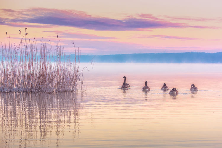 Canada geese swimming on lake sea during sunset