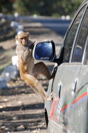 India Animal Themes Animal Wildlife Animals In The Wild Balance Car Close-up Day Focus On Foreground Land Vehicle Mode Of Transport Monkey Monkey Trying To Hang On Car Nature No People One Animal Outdoors Roadside Transportation