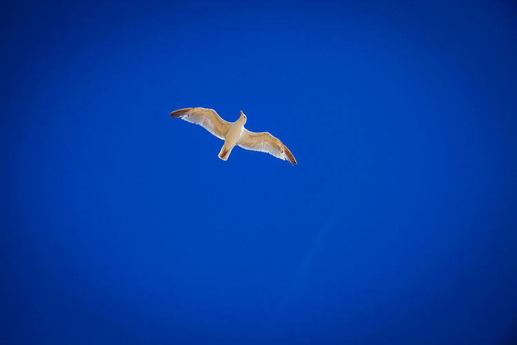 Blue Bluesky Blueskies Sea Sea Life Seaside Seagull SEAGULL IN FLIGHT Thelook Bird Photography Ways Of Seeing Summertime Summer Animals In The Wild Flying Animal Wildlife One Animal Spread Wings Clear Sky Mid-air Motion Outdoors Day It's About The Journey