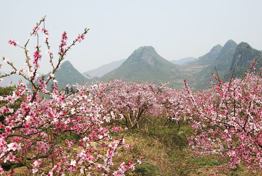 Agriculture Blooming Flower Blossoming Flower Branch Closeup Countryside Delicate Fieldscape Flora Flower Head Fragrant Garden Flowers Nature Photography Orchard Outdoor Peach Flowers Peach Tree Peach Tree Blossoms Petal Pink Flower Red Flower Rural Scene Scenery Spring Flowers Stem