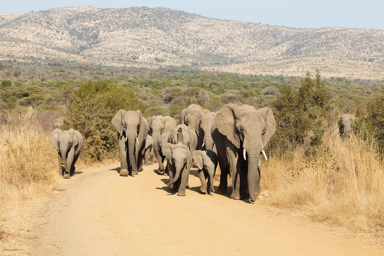 Elephants with infant walking on landscape