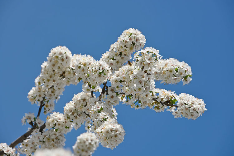 Big branch of white cherry blossom over clear blue sky Flower Flowering Plant Fragility Plant Cherry Tree Cherry Blossom Flower Head Blossom Vulnerability  Low Angle View Beauty In Nature White Color Blue Freshness Nature Day No People Clear Sky Tree Growth Springtime Sky Close-up Blue Background Copy Space In Bloom Blooming