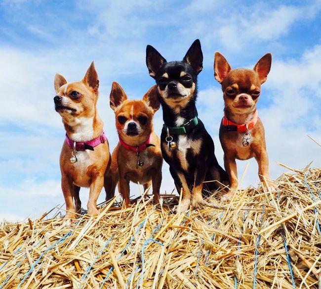 Perfect Chihuahua Cute Dog Chihuahua Chihuahuaoftheday Chihuahuapower Chihuahuas<3 Chihuahua Love ♥ Chihuahualovers Chihuahua Market Bestsellers November 2016