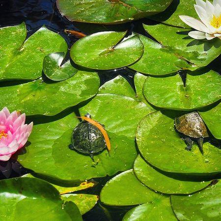 Baharda bataklıklar bile güzel 🌸🐢🐢 Besiktas Ytü Turtle Lotus Spring