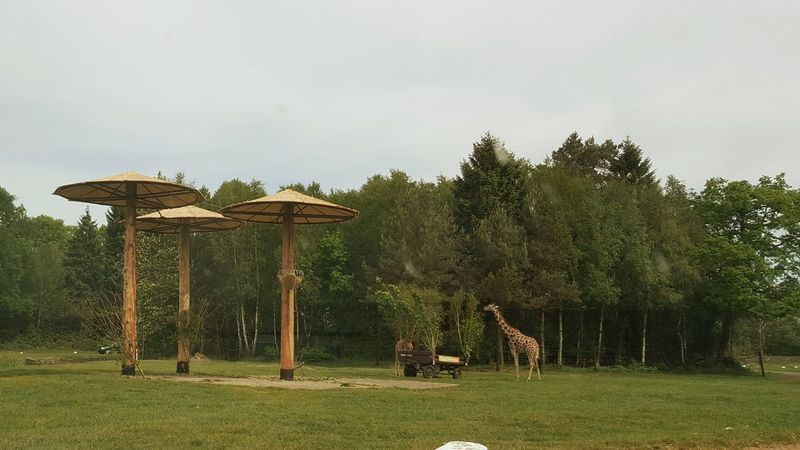 Giraffe Serengeti-Park, Hodenhagen