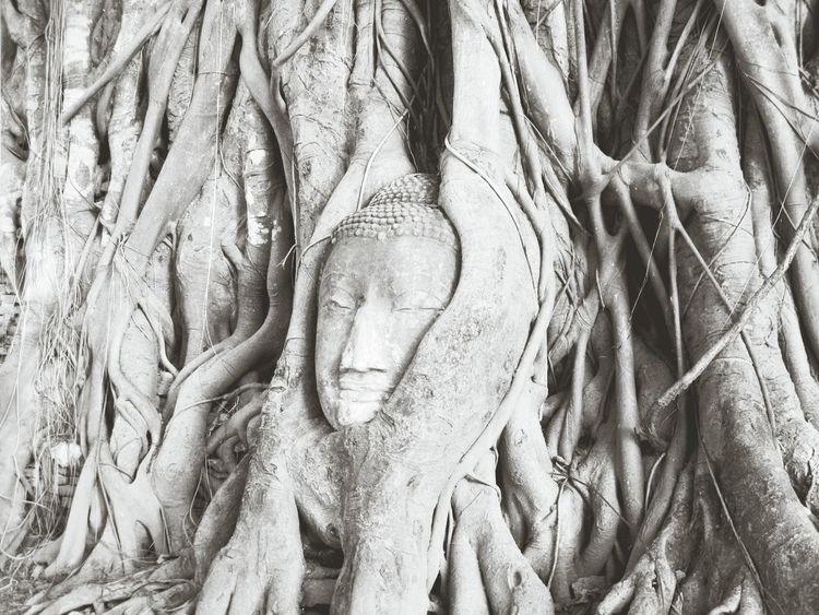 Ayuthaya วัดมหาธาตุ In The Tree  Black&white