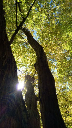 Sunlight Tree Sunbeam Lens Flare Branch Sun Low Angle View Shadow Nature Growth Day Outdoors No People Tree Trunk Beauty In Nature Sky Autumn🍁🍁🍁