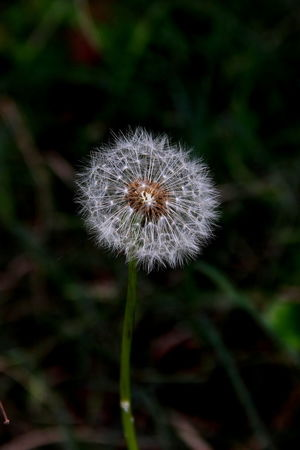 Beauty In Nature Close-up Dandelion Day Diente De León Flower Flower Head Focus On Foreground Fragility Freshness Growth Nature Outdoors Plant Uncultivated Wildflower