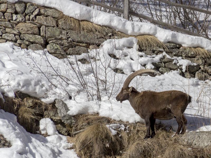 Alpine ibex Alpine Ibex Gran Paradiso Wildlife Photography Winter Capra Ibex Gran Paradiso National Park Mammal Snow Stambecchi Stambecco Wildlife