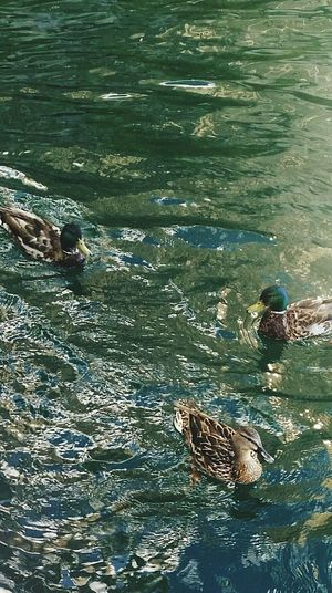 Beauty In Nature Summer16 Ducks Canada Toronto Lakeshore Nature Wildlife Aquatic Creatures Hanging Out Outdoors Reflection Water