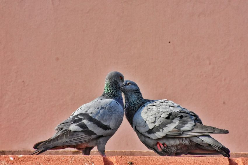 First Kiss...... Bird Naturelovers Nature Love Birds ❤️❤️❤️❤️ Love ♥ Love Birds Kiss Kiss Me Animal Love First Kiss Pegion Bird Pegion Love In The Air Nikonphotography Love In Nature Nikon D3400 Close-up Close Up Desire Animals In The Wild Outdoors Animal Wildlife Animal Themes