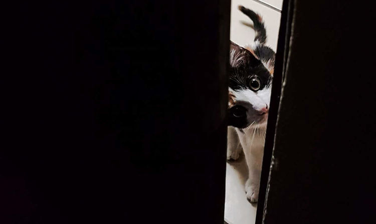 ¿puedo entrar? Costa Rica Heredia, Costa Rica Barva Santa Lucía Pets Black Background Close-up Domestic Cat Whisker Feline Cat At Home