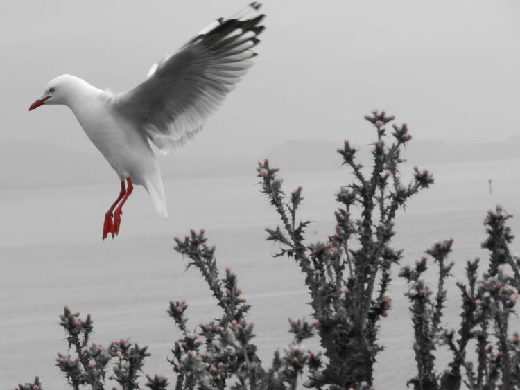 Southern Island of New Zealand Animal Themes Animal Wildlife Animals In The Wild Beauty In Nature Bird Black And Red Flying Flying Seagull Nature One Animal Outdoors Seagull Spread Wings EyeEmNewHere