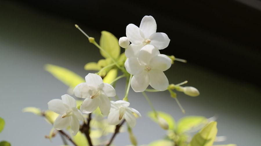 Flower Close-up White Color Nature Moke Travel Kosamui Thailand