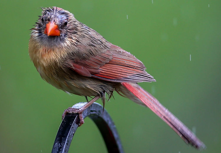 Wet and miserable Northern Cardinal Rainy Days Animal Animal Themes Animal Wildlife Animals In The Wild Beak Beauty In Nature Bird Feather  Full Length Green Color Nature One Animal Outdoors Perching Wet Bird Wet Cardinal Wet Feathers