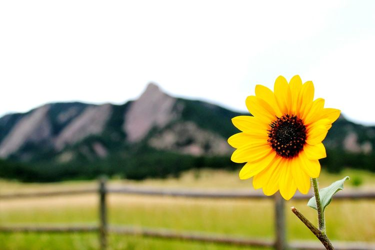 Close-Up Of Sunflower Blooming In Front Of Flatiron Boulder