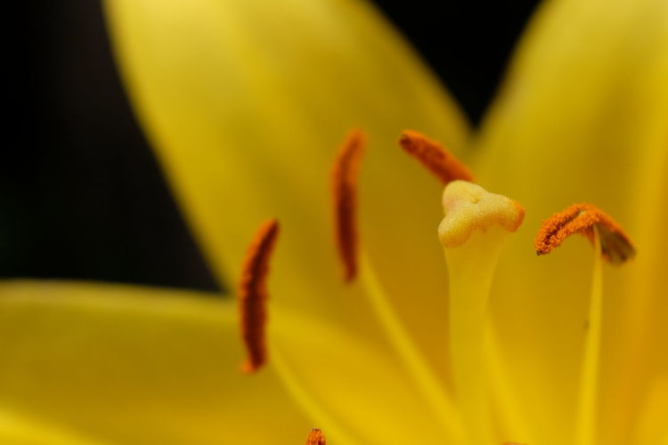 Flower Head Flower Day Lily Yellow Petal Stamen Close-up Plant