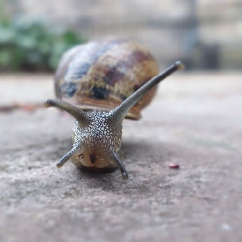One Animal Snail Close-up Animal Themes Animals In The Wild No People Outdoors Day Nature Slug Moving House Snail Collection Snails🐌 Snails Snails Pace Snails Adventure Snail On The Road Snailtrail