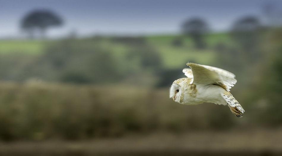 Barn owl flying over field