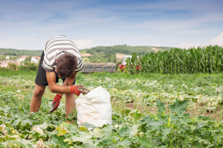 farmer bending over and picking up cucumbers Agriculture Bending Cucumbers Field Picking Up Work Worker Working Agricultural Land Agriculture Bending Over Childhood Field Fields Harvest Harvesting Lifestyles Nature One Person Outdoors Picking Plant Plantation Ripe Working