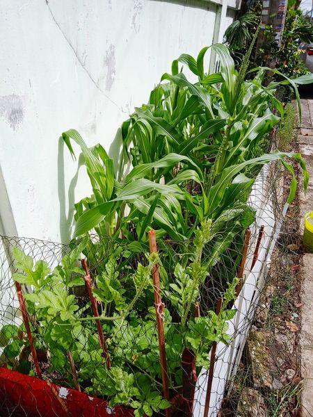 ข้าวโพดหวานสีขาว ฮอกไกโด กินดิบ สวน Plants 🌱 Fruit ข้าวโพด Corn Sweed Greenhouse Leaf Water Close-up Plant Green Color