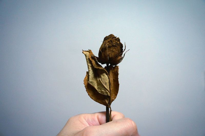 Cropped hand holding wilted rose against white background