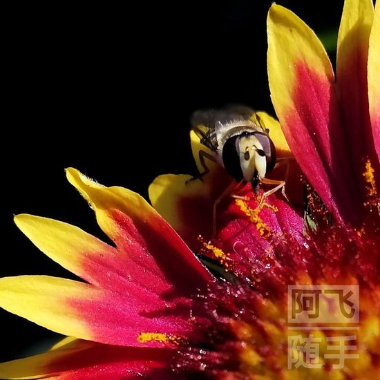 💀💀💀 EyeEmNewHere Flower Flower Head Black Background Red Gold Colored Beauty Close-up Statue Magenta Blooming Hibiscus Male Likeness Sculpted Human Representation Buddha Golden Color Wat Pho Jesus Christ Carving - Craft Product Astrology Sign Pollen Stamen Virgin Mary Idol Ganesha Petal Female Likeness Sculpture