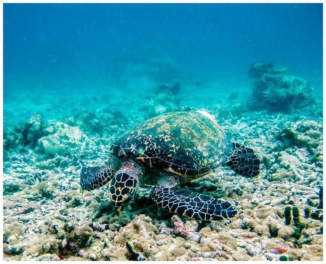 Tortuga Turtle Maldivas Underwater Sea Life Sea UnderSea Sea Turtle Swimming Animal Themes Beauty In Nature Animals In The Wild Water Nature Scuba Diving Holidays Vacaciones One Animal Wildlife Naturaleza