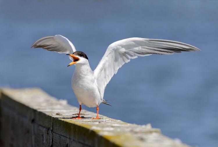 Common tern spreading wings and calling. santa clara county, california, usa.