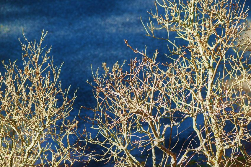 Bare Tree Beauty In Nature Blue Branch Close-up Cold Temperature Day Fragility Freshness Growth Nature No People Outdoors Plant Snow Tranquility Tree Winter