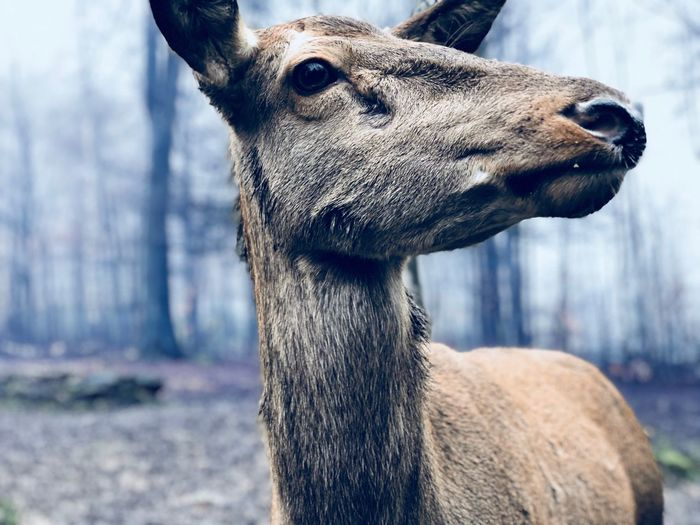 Deer Wood Animal Themes One Animal Focus On Foreground Day Mammal Close-up Animals In The Wild Outdoors No People Animal Head  Animal Wildlife Portrait Nature Livestock Shades Of Winter Shades Of Winter The Great Outdoors - 2018 EyeEm Awards The Great Outdoors - 2018 EyeEm Awards