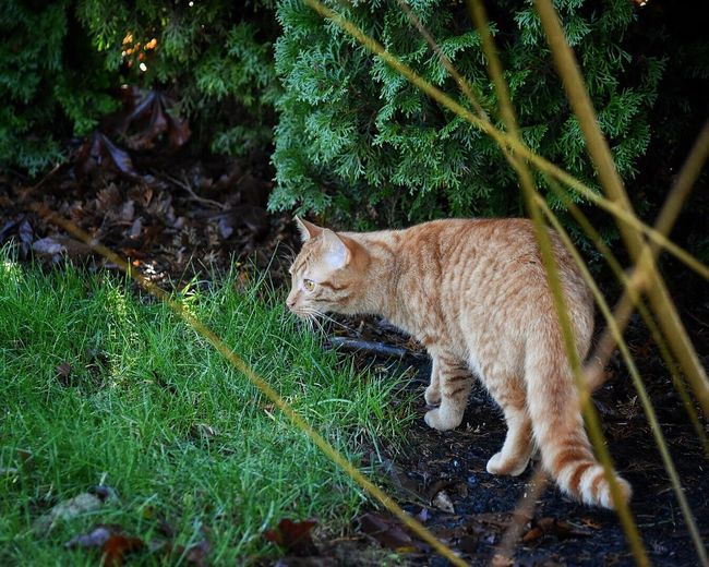 Stubborn Domestic Animals One Animal Mammal Animal Themes Pets Domestic Cat Nature Full Length Tree Grass No People Feline Green Color Outdoors Day Plant Pet Photography  Cat Cats Of EyeEm Cats Animal Feline Portraits Outdoor Photography Frontyard