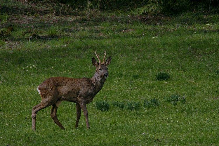 Field Deer