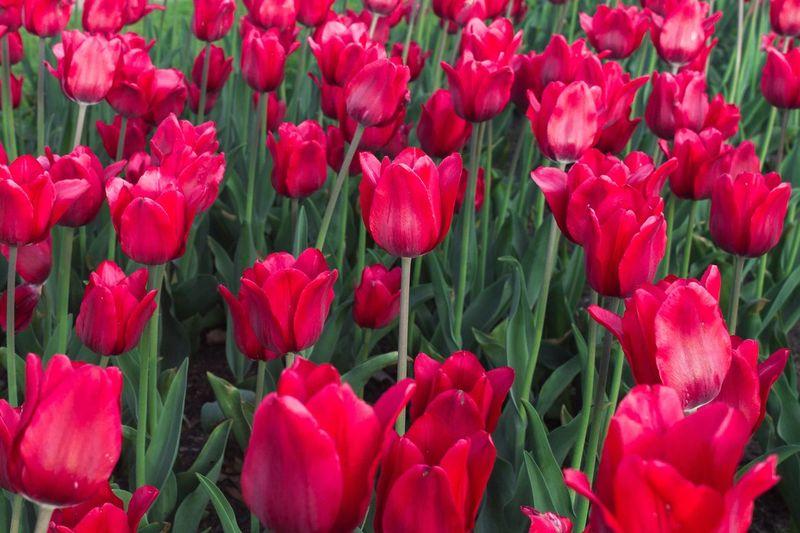 Basteogne Flowering Plant Red Flower Plant Full Frame Freshness Backgrounds