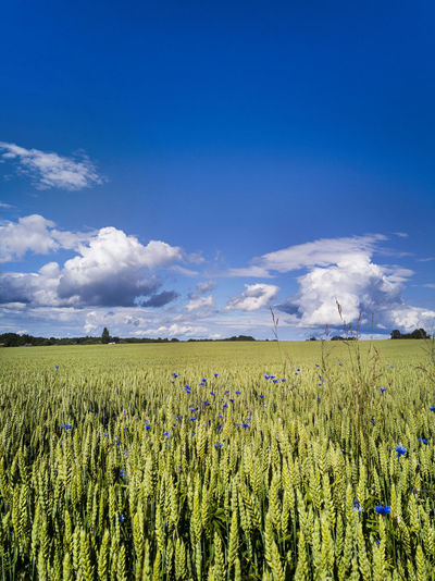 Cornfield in Estonia Agriculture Beauty In Nature Blue Cereal Plant Cloud - Sky Clouds And Sky Cornfield Crop  Day Farm Field Growth Landscape Nature No People Outdoors Plant Rural Scene Scenics Sky Tranquil Scene Tranquility Corn Farmland RYE Rye - Grain