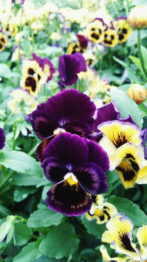 A Close-up picture of Colourful Pansies with Beautiful Green Leaves . This picture would make a Striking Background . Featuring Flower Purple Plant Nature Petal Growth Beauty In Nature Fragility Freshness Flower Head Outdoors Day No People Pansy Blooming Leaf Growth