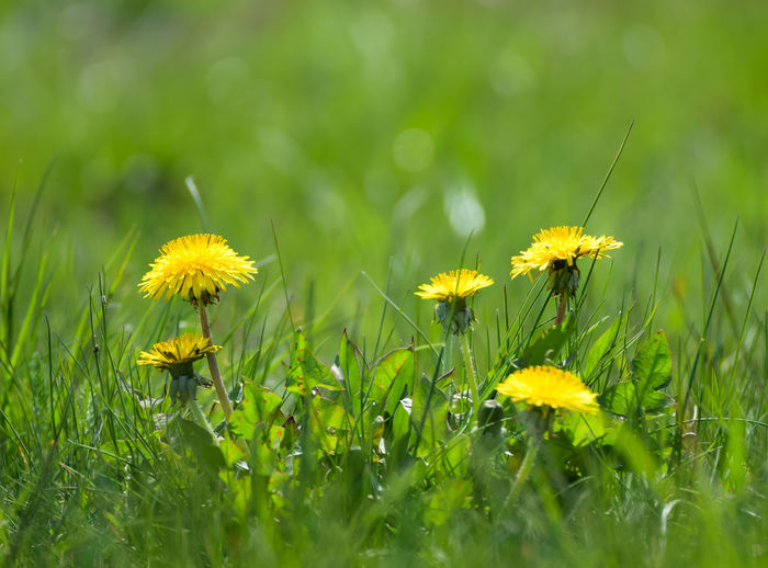 yellow flowers in spring time Spring Season  Change Natural Colorful Beautiful Copy Space Object Leaf Springtime Outdoors View Flower Head Flower Yellow Field Meadow Close-up Grass Plant Green Color Plant Life Stamen Botany Blossom Pollen Wildflower In Bloom Focus Flowering Plant