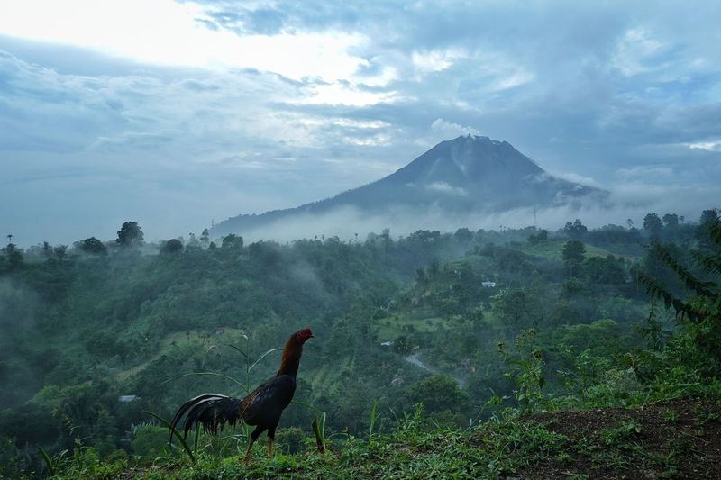 Mount Sinabung, North Sumatera in afternoon Sinabung Eruption Ringoffire Volcano Disaster Tree Mountain Agriculture Fog Sky Mountain Range