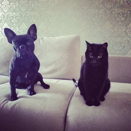 Good morning gang :) Fab_frenchies Frenchbullies Frenchie BLackCat Blackissuchahappycolor Cat Maya Negri Friends Homeiswhereloveis Love Home