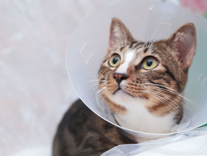 Close-Up Of Cat Wearing Protective Collar