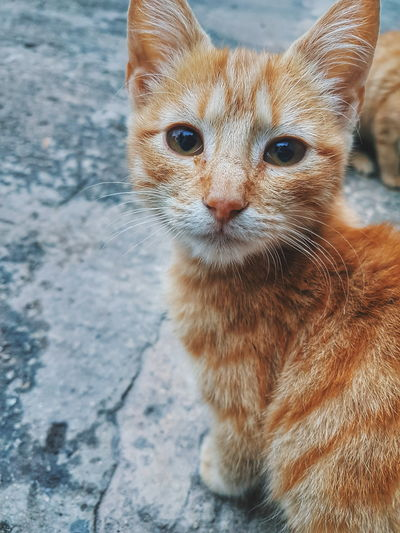 Portrait One Animal Mammal Pets Looking At Camera Domestic Cat Outdoors Day Domestic Animals No People Animal Themes Close-up Nature Ginger Cat Cute Cats Pets Meow Purrfect
