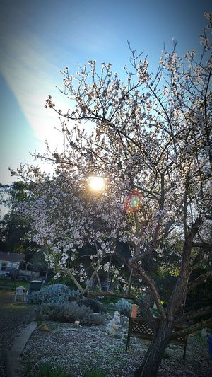 EyeEm Nature Lover Nature Photography Allaboutnature California Sunshine Sunrays Almond Tree Onelightsource Californiathroughmylens Spring Has Arrived Capture The Moment Flowers,Plants & Garden Learn & Shoot: Simplicity Microclimate Yeah Springtime!