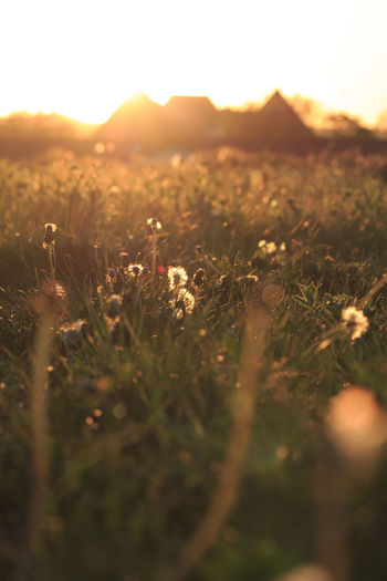 Surface Level Of Flowering Plants On Field During Sunset