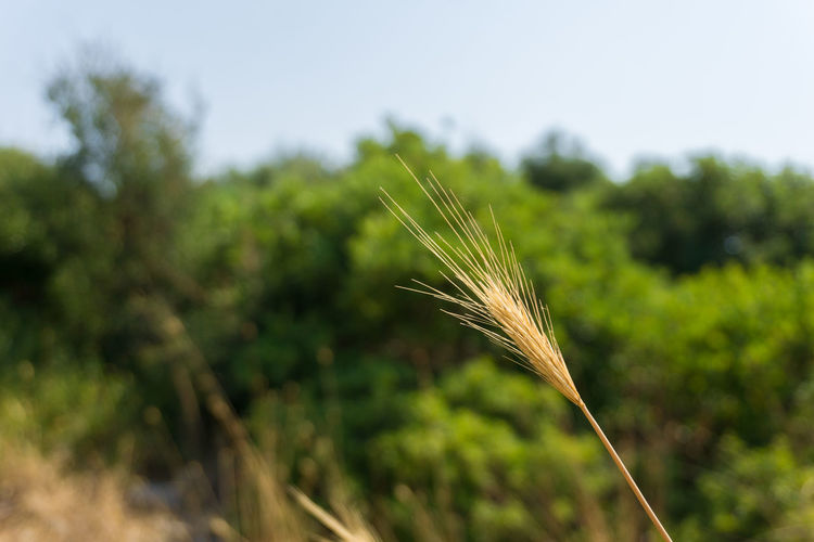 Close-up of a cereal Plant on a hot Day Growing Growth Habitat Nature Orange Plant Scenic Wheat Agriculture Cereal Plant Close-up Crop  Day Dried Dry Ear Of Wheat Focus On Foreground Fragility Heat Outdoor Summer Temperature Tranquil Scene Vegetation Yellow