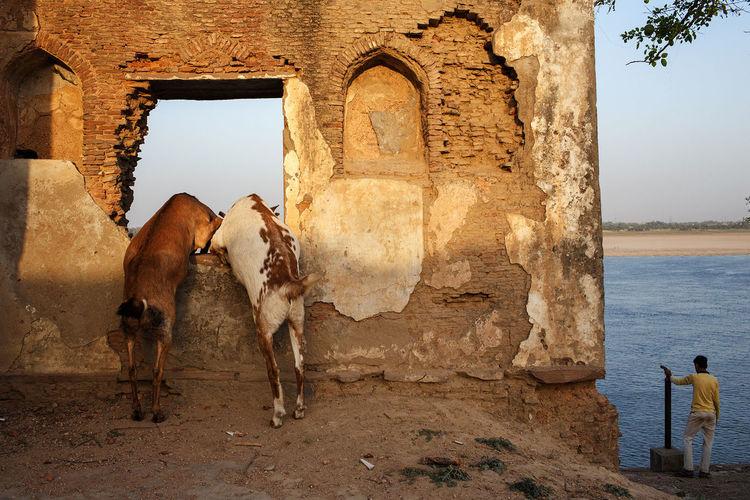Goats and the Ganges in Varanasi, India. India Streetphotography Varanasi Ganges Goats River The Street Photographer - 2017 EyeEm Awards